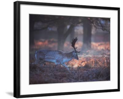 A Fallow Deer in the Early Morning Winter Mist in Richmond Park-Alex Saberi-Framed Photographic Print