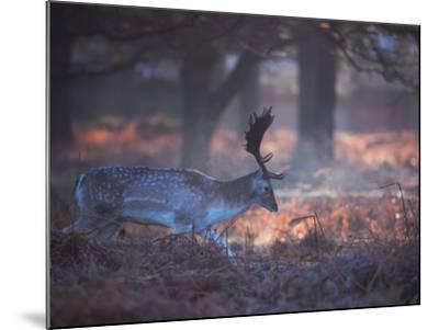 A Fallow Deer in the Early Morning Winter Mist in Richmond Park-Alex Saberi-Mounted Photographic Print