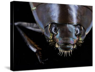A Whirligig Beetle with Compound Eyes Collected from Gorongosa National Park-Joel Sartore-Stretched Canvas Print
