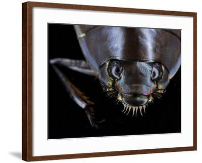 A Whirligig Beetle with Compound Eyes Collected from Gorongosa National Park-Joel Sartore-Framed Photographic Print