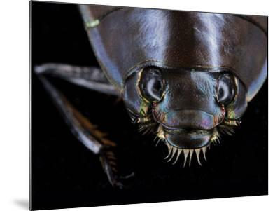 A Whirligig Beetle with Compound Eyes Collected from Gorongosa National Park-Joel Sartore-Mounted Photographic Print