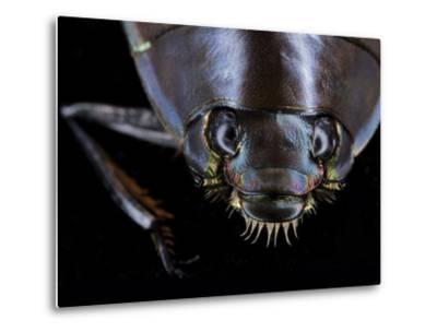 A Whirligig Beetle with Compound Eyes Collected from Gorongosa National Park-Joel Sartore-Metal Print