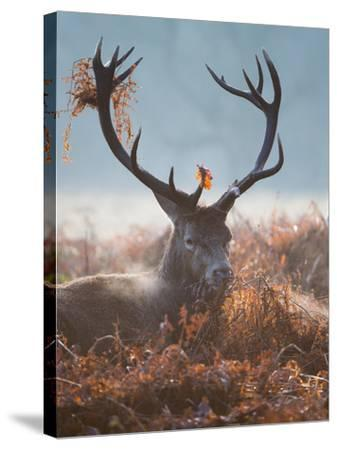A Red Stag Adorns Himself with Foliage on a Winter Morning in Richmond Park-Alex Saberi-Stretched Canvas Print