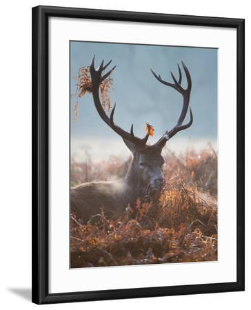 A Red Stag Adorns Himself with Foliage on a Winter Morning in Richmond Park-Alex Saberi-Framed Photographic Print
