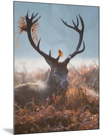 A Red Stag Adorns Himself with Foliage on a Winter Morning in Richmond Park-Alex Saberi-Mounted Photographic Print