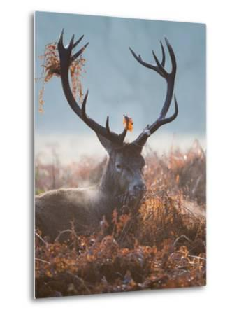 A Red Stag Adorns Himself with Foliage on a Winter Morning in Richmond Park-Alex Saberi-Metal Print