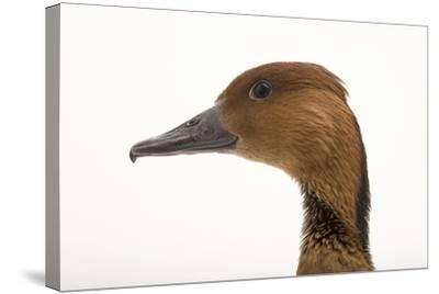 A Fulvous Whistling Duck, Dendrocygna Bicolor, at the Living Desert in Palm Desert, California-Joel Sartore-Stretched Canvas Print