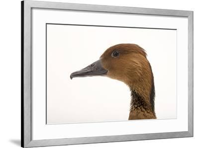 A Fulvous Whistling Duck, Dendrocygna Bicolor, at the Living Desert in Palm Desert, California-Joel Sartore-Framed Photographic Print