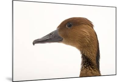 A Fulvous Whistling Duck, Dendrocygna Bicolor, at the Living Desert in Palm Desert, California-Joel Sartore-Mounted Photographic Print