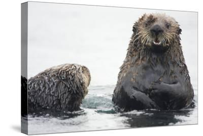 Portrait of a Northern Sea Otter, Enhydra Lutris Kenyoni-Bob Smith-Stretched Canvas Print