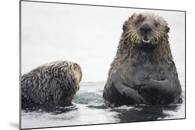 Portrait of a Northern Sea Otter, Enhydra Lutris Kenyoni-Bob Smith-Mounted Photographic Print