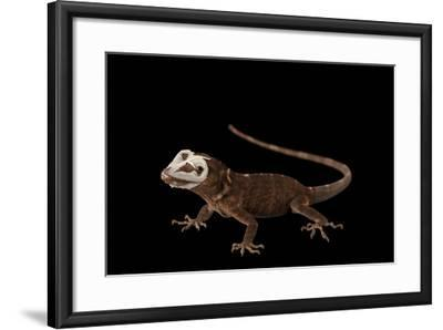 Giant Hispaniolan Galliwasp, Celestus Warreni, Shedding Skin at the Omaha Zoo-Joel Sartore-Framed Photographic Print