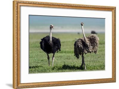 A Male Ostrich Challenging a Female Ostrich with His Beak Open on the Savannah-Jason Edwards-Framed Photographic Print
