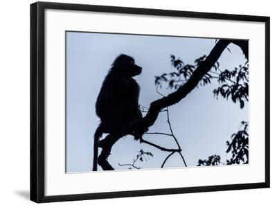 The Silhouette of an Olive Baboon Sitting on the End of a Branch in a Tree before Dawn-Jason Edwards-Framed Photographic Print