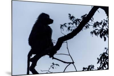 The Silhouette of an Olive Baboon Sitting on the End of a Branch in a Tree before Dawn-Jason Edwards-Mounted Photographic Print