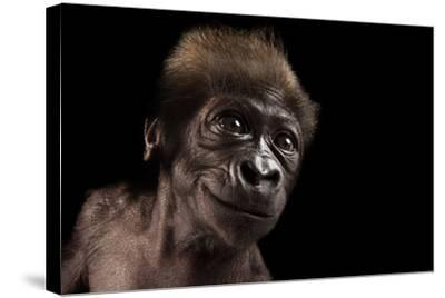 A Critically Endangered, Six-Week-Old Female Baby Gorilla, Gorilla Gorilla Gorilla, at the Cincinna-Joel Sartore-Stretched Canvas Print