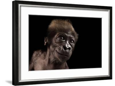 A Critically Endangered, Six-Week-Old Female Baby Gorilla, Gorilla Gorilla Gorilla, at the Cincinna-Joel Sartore-Framed Photographic Print