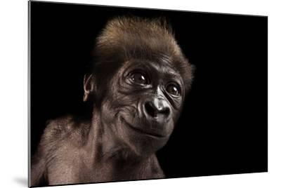 A Critically Endangered, Six-Week-Old Female Baby Gorilla, Gorilla Gorilla Gorilla, at the Cincinna-Joel Sartore-Mounted Photographic Print