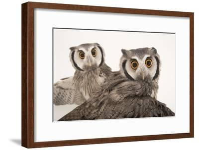 Northern White-Faced Owls, Ptilopsis Leucotis, at the Cincinnati Zoo-Joel Sartore-Framed Photographic Print