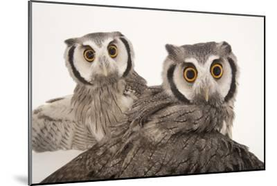 Northern White-Faced Owls, Ptilopsis Leucotis, at the Cincinnati Zoo-Joel Sartore-Mounted Photographic Print