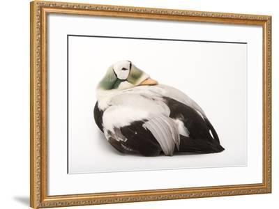 A Spectacled Eider, Somateria Fischeri, at the Cincinnati Zoo-Joel Sartore-Framed Photographic Print