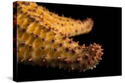 The Arm of a Red Cushion Sea Star, Oreaster Reticulatus, at the Indianapolis Zoo-Joel Sartore-Stretched Canvas Print