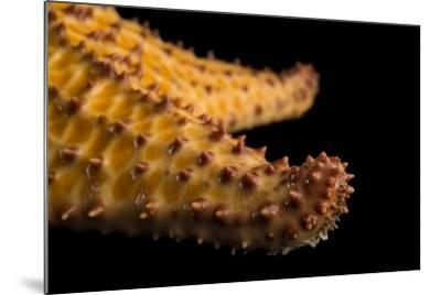 The Arm of a Red Cushion Sea Star, Oreaster Reticulatus, at the Indianapolis Zoo-Joel Sartore-Mounted Photographic Print