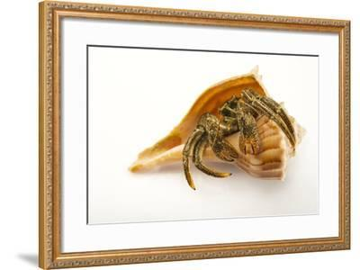 A Digger Hermit Crab, Paguristes Bakeri, at the Indianapolis Zoo-Joel Sartore-Framed Photographic Print