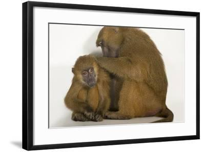A Pair of Guinea Baboons, Papio Papio, at the Indianapolis Zoo-Joel Sartore-Framed Photographic Print