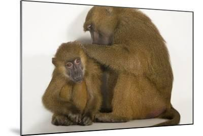A Pair of Guinea Baboons, Papio Papio, at the Indianapolis Zoo-Joel Sartore-Mounted Photographic Print