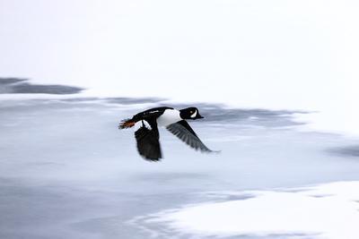 Portrait of a Male Barrow's Goldeneye Duck, Bucephala Islandica, in Flight-Robbie George-Framed Photographic Print