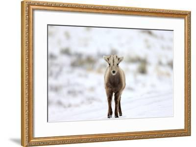 Portrait of a Bighorn Sheep Calf, Ovis Canadensis, in a Snowy Field-Robbie George-Framed Photographic Print