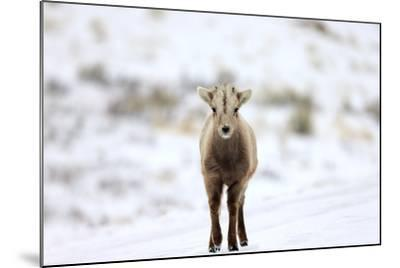 Portrait of a Bighorn Sheep Calf, Ovis Canadensis, in a Snowy Field-Robbie George-Mounted Photographic Print