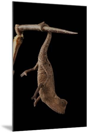 Plated Leaf Pygmy Chameleon, Brookesia Minima, at the Omaha Zoo-Joel Sartore-Mounted Photographic Print