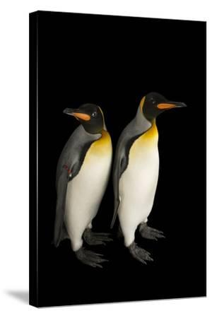 A Pair of South Georgia King Penguins at the Indianapolis Zoo-Joel Sartore-Stretched Canvas Print