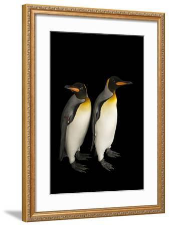 A Pair of South Georgia King Penguins at the Indianapolis Zoo-Joel Sartore-Framed Photographic Print