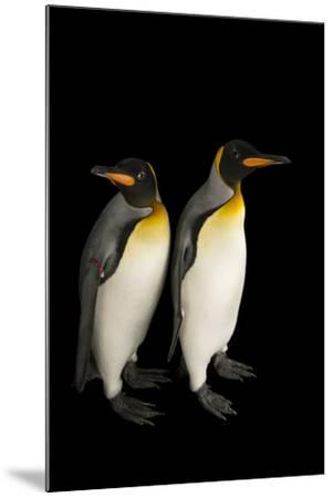 A Pair of South Georgia King Penguins at the Indianapolis Zoo-Joel Sartore-Mounted Photographic Print