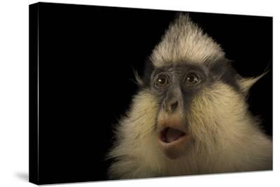 A Female Gray's Crowned Guenon, Cercopithecus Pogonias Grayi, at the Cincinnati Zoo-Joel Sartore-Stretched Canvas Print
