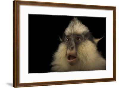 A Female Gray's Crowned Guenon, Cercopithecus Pogonias Grayi, at the Cincinnati Zoo-Joel Sartore-Framed Photographic Print