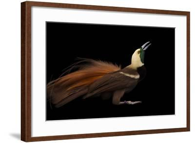 A Raggiana Bird-Of-Paradise, Paradisaea Raggiana, at the Cincinnati Zoo-Joel Sartore-Framed Photographic Print