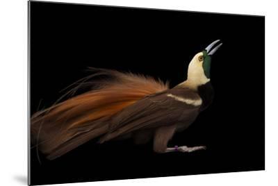 A Raggiana Bird-Of-Paradise, Paradisaea Raggiana, at the Cincinnati Zoo-Joel Sartore-Mounted Photographic Print