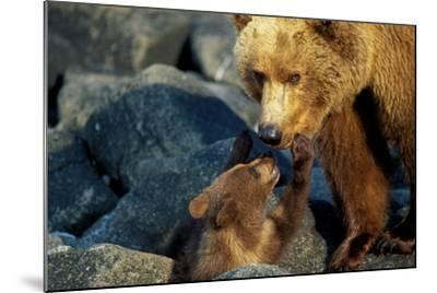 A Grizzly Bear Cub Nuzzles its Mother-Tom Murphy-Mounted Photographic Print