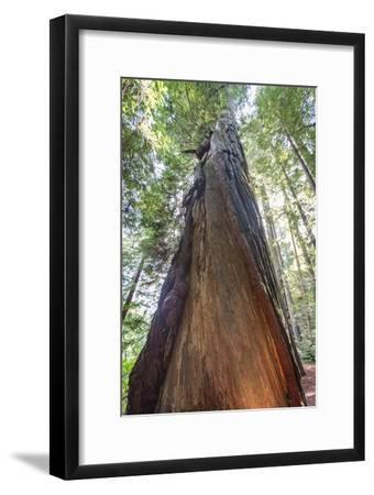 A Low-Angle View of a Giant Redwood Tree-Macduff Everton-Framed Photographic Print