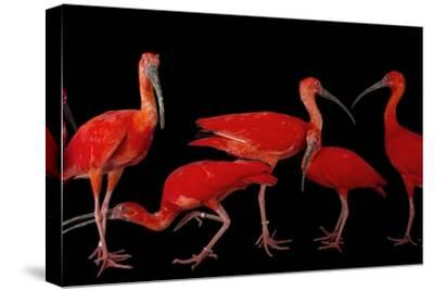 A Flock of Scarlet Ibis, Eudocimus Ruber, at the Caldwell Zoo-Joel Sartore-Stretched Canvas Print