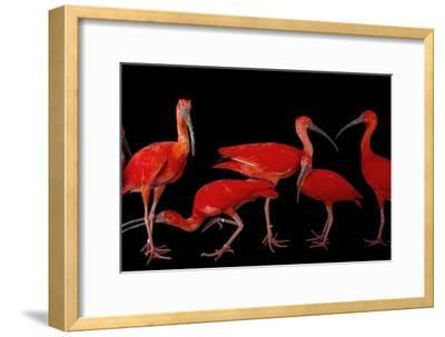 A Flock of Scarlet Ibis, Eudocimus Ruber, at the Caldwell Zoo-Joel Sartore-Framed Photographic Print