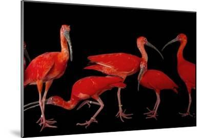 A Flock of Scarlet Ibis, Eudocimus Ruber, at the Caldwell Zoo-Joel Sartore-Mounted Photographic Print