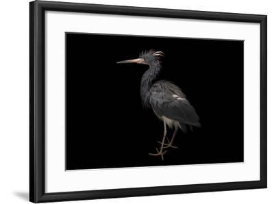 A Tricolored Heron, Egretta Tricolor, at the Cincinnati Zoo-Joel Sartore-Framed Photographic Print