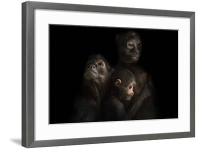 Critically Endangered Robust Black Spider Monkeys, Ateles Fusciceps Robustus-Joel Sartore-Framed Photographic Print