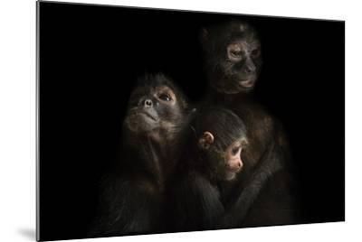 Critically Endangered Robust Black Spider Monkeys, Ateles Fusciceps Robustus-Joel Sartore-Mounted Photographic Print