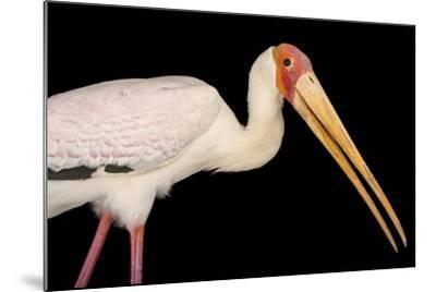 A Yellow-Billed Stork, Mycteria Ibis, at the Living Desert in Palm Desert, California-Joel Sartore-Mounted Photographic Print